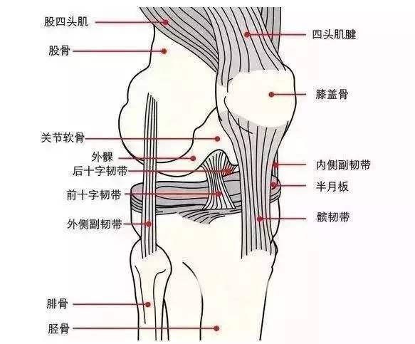 膝关节内部结构